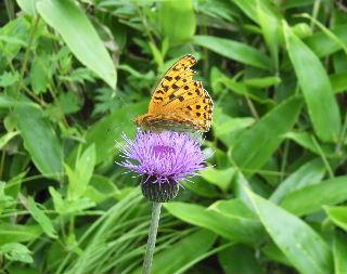 あざみの蜜をすう蝶々